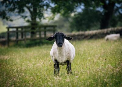 sheep at Further Harrop Farm