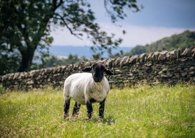 more sheep at Harrop Farm