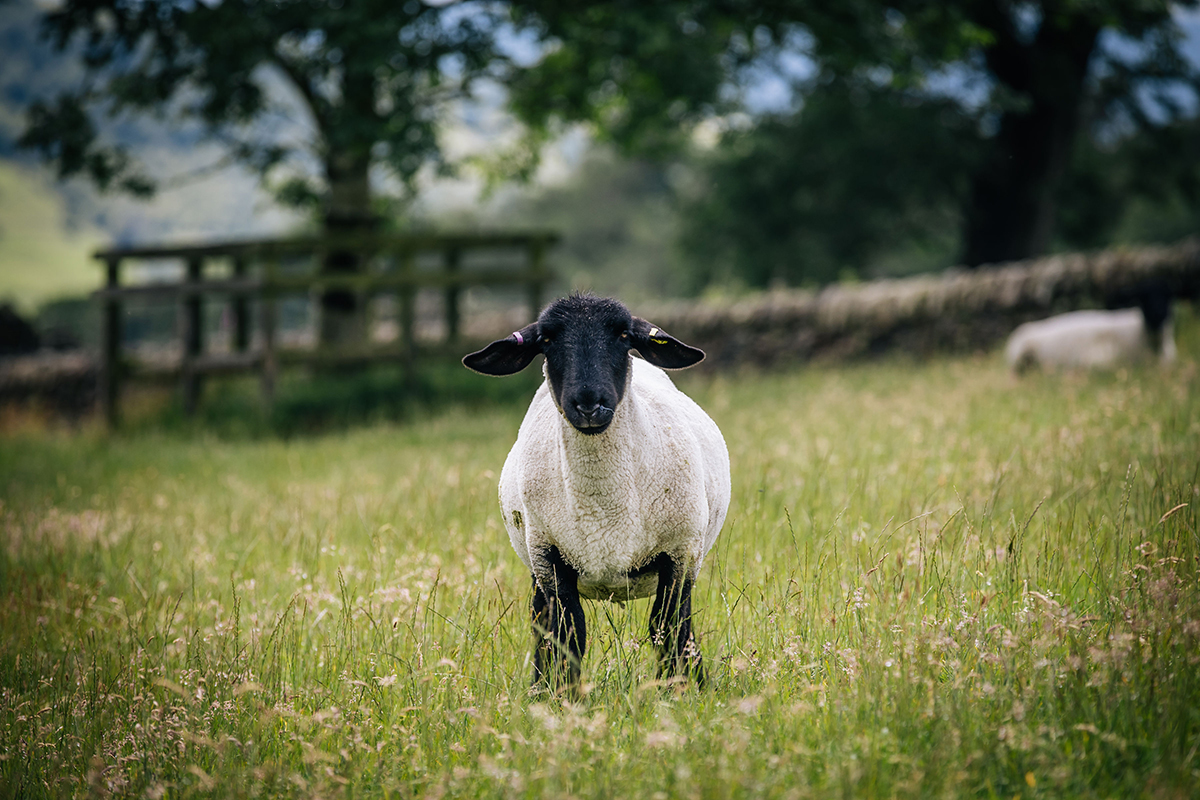 Sussex sheep on Harrop Farm